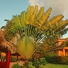 Traveler's Palm at Belizean Dreams