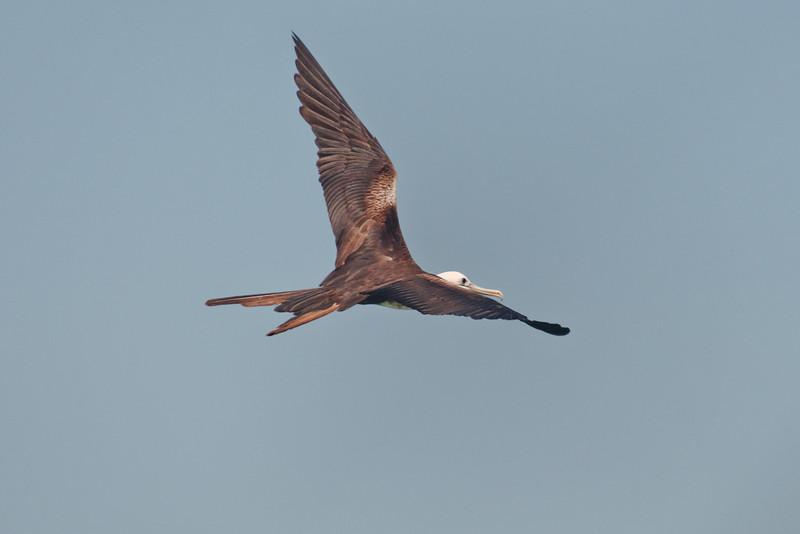 Magnificent Frigate Bird, female.  Male has dark head and red gular sac it inflates to attract a mate