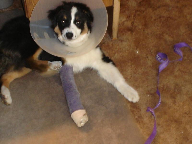 Broken leg Bella (Feb. 2009)