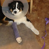 Broken leg Bella (Feb. 2009)