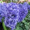 Close up of some hyacinths.