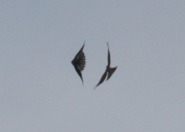 Sharp-shinned Hawk (right) and Merlin 10 March 2010