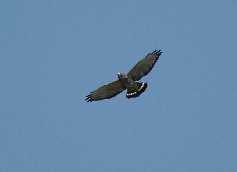 Broad-winged Hawk, 10 September 2011