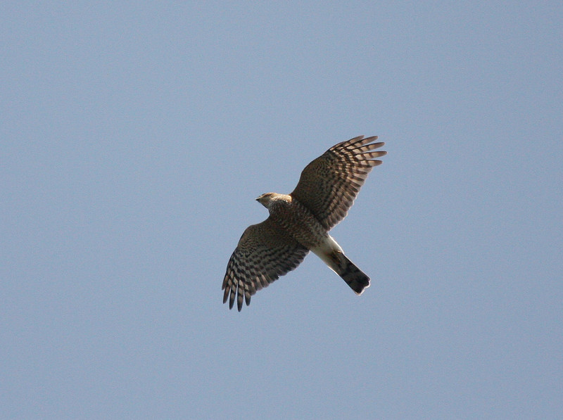 adult Sharp-shinned Hawk 28 September 2009