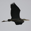 Great Blue Heron 17 April 2011