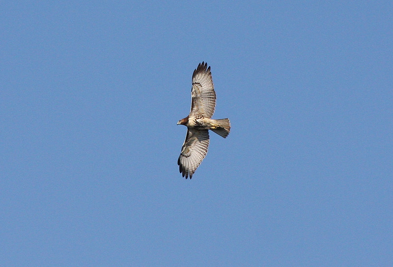 Red-tailed Hawk, 24 September 2010