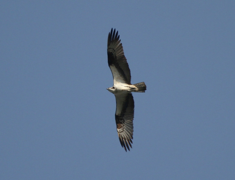 Osprey, 10 September 2011