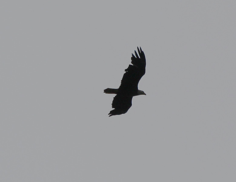 Bald Eagle, 15 May 2011