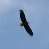 Bald Eagle 17 September 2010