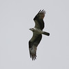 Osprey 16 September 2011