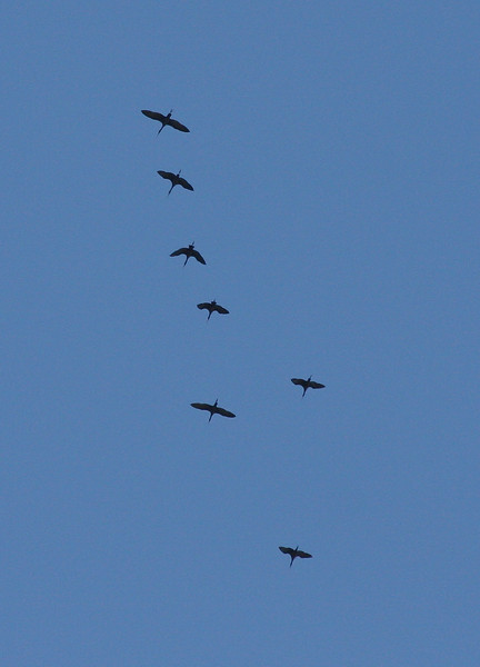 Glossy Ibis, 1 October 2010