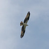 Osprey 25 April 2010