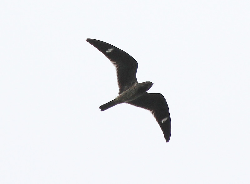 Common Nighthawk 20 September 2011