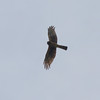 Northern Harrier, 23 May 2011