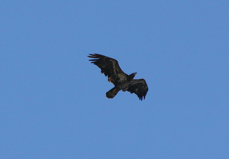 Bald Eagle 2nd/3rd cycle, 16 October 2010