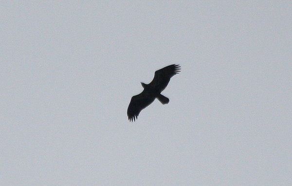 juvenile Bald Eagle silhouette, 24 April 2010