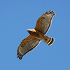 Red-shouldered Hawk 17 November 2010