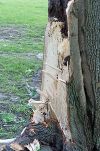 Damaged stump of tree.