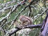 Red squirrel in Kincaid Park