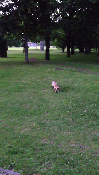 Fox in the Tiergarten!   Quite tame actually just a few feet from me.  Thunderstorm on the way, hit a few mins later.