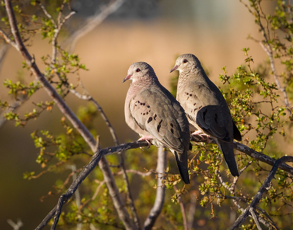 Common Ground Dove, Anza Borrego