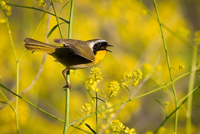 Common Yellowthroat Warbler, Rose Canyon