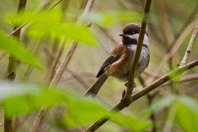 Chestnut-Backed Chickadee, Pacific Spirit Park