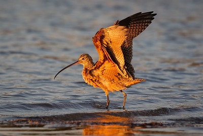 Long-Billed Curlew in Mission Bay