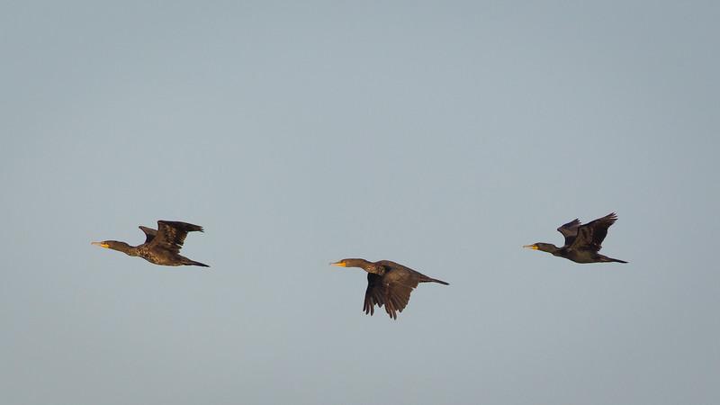 Double-Breasted Cormorants in Flight