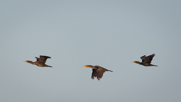 Double-Breasted Cormorants in Flight