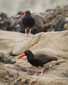 Black Oystercatchers, Point Lobos