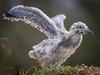 Fledging Western Gull at Elkhorn Slew, HCIC'13