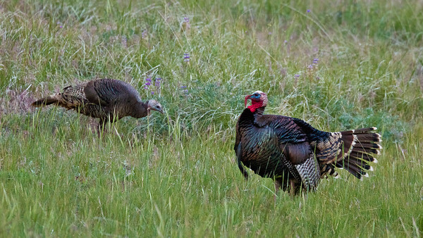 Wild Turkeys, Laguna Mountains