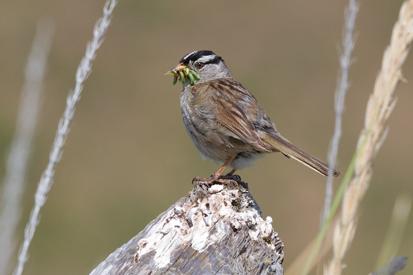 White-Crowned Sparrow Collects Caterpillars for the Family, Whidbey Island