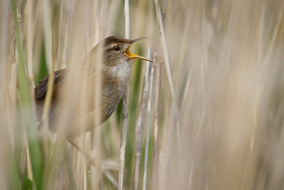 Marsh Wren, Reifel Bird Refuge