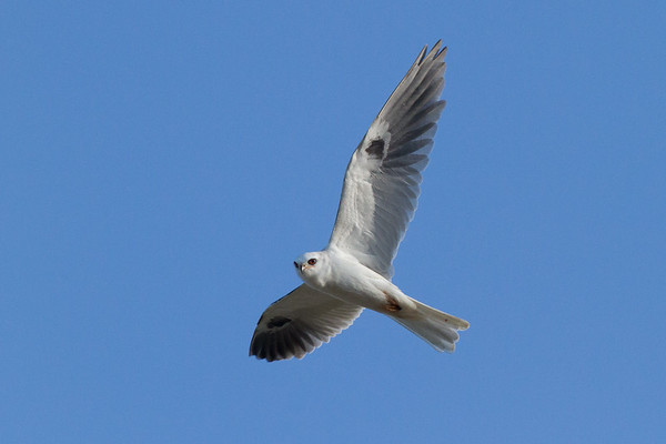 White-Tailed Kite in Flight, Marion Bear Canyon