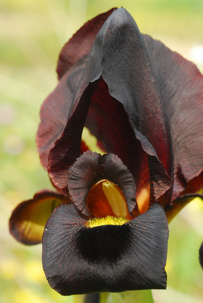 Iris_atropurpurea6