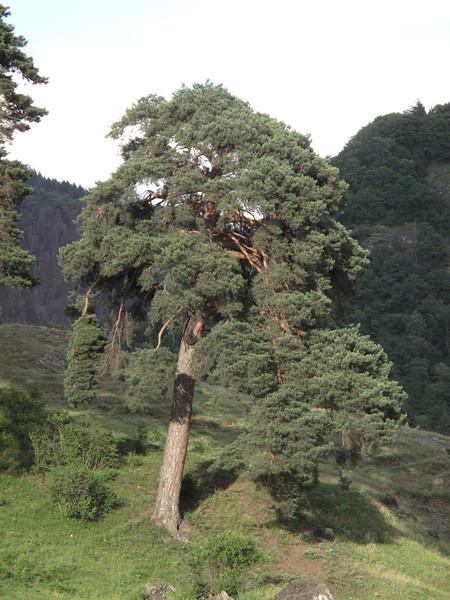 Georgia, Lesser Caucasus, forest below Bakuriani