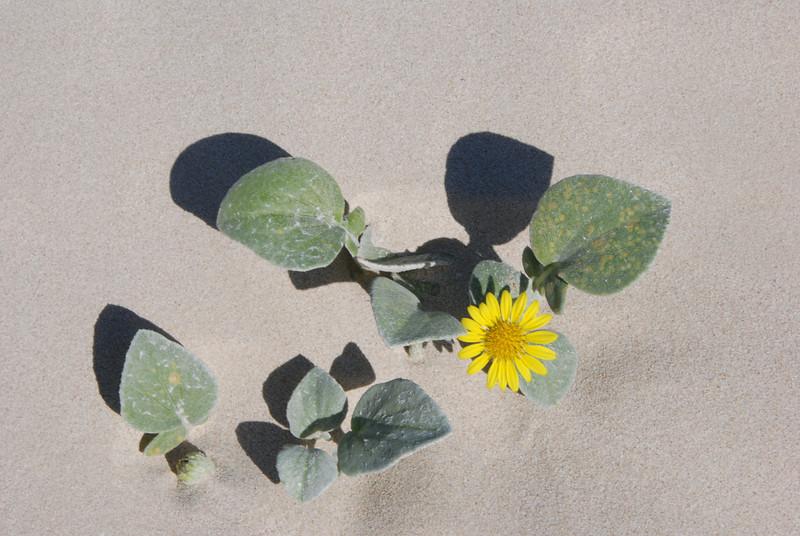 Arctotheca_populifolia