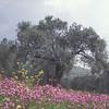 זית אירופי<br /> Olea europaea, Olive tree<br /> Galilee - Ein Zeytim, 3/3/98