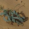S Israel, W Negev, Shunra Sands