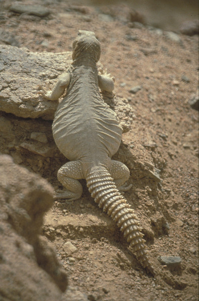 Dhub Lizard, Eilat, May 1987, O. Fragman