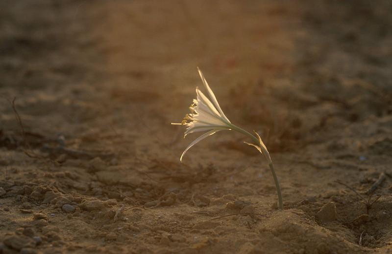 חבצלת הנגב, Pancratium sieckenbergeri, <br /> Desert Daffodil, Negev, O. Fragman