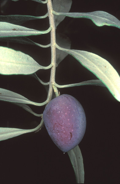 Olea europaea,fruit, 24/11/98,O. Fragman,Jordan Valley-Gilgal
