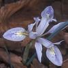 Iris vartanii <br /> Bot. Garden Jerusalem<br /> 25.12.01<br /> <br /> O, Fragman