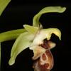 Ophrys_carmeli