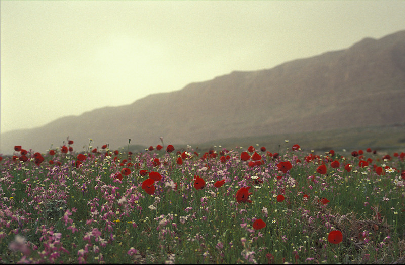 Dead Sea area (poppies and others), blooming in the rainest year in the past 150 year, Feb. 1992, O. Fragman
