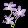 Doritaenopsis