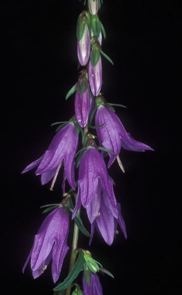 Campanula rapunculoides, Creeping Bellflower, Turkey near Abant, 27/7/94, O. Fragman