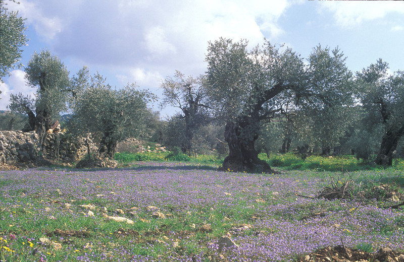 ancient Olives and Veronica flowers<br /> Galilee - Hurfeish, 3/3/98, O. Fragman
